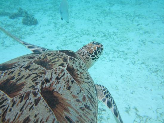 Pom Pom Island Resort & Spa: swimming with turtle
