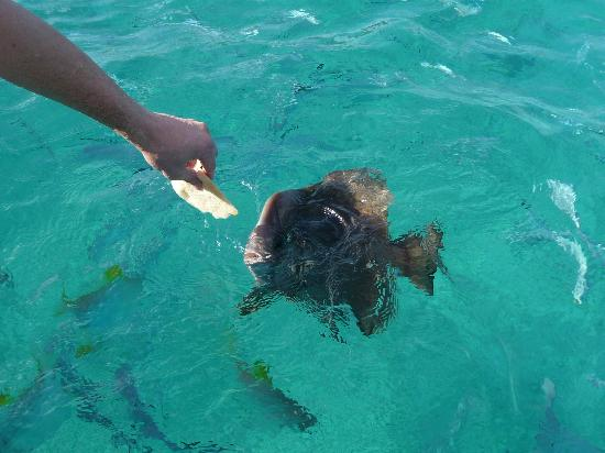Omusee Guesthouse: Feeding Batfish at Île St. Pierre