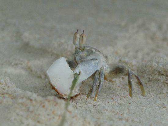 Omusee Guesthouse: Catch Crabs with palm leaves and coconut