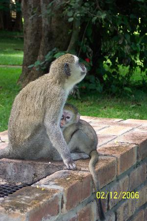 Chobe Safari Lodge: Monkeys are all around the lodge, quite entertaining at times