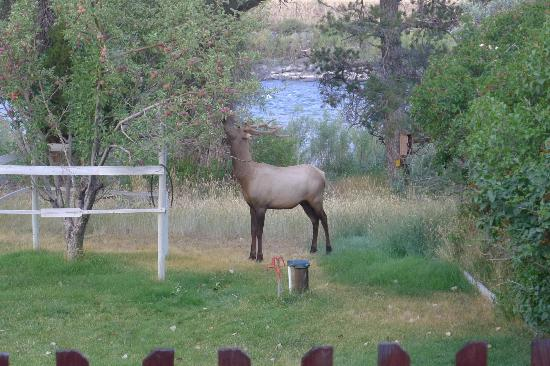 Headwaters of the Yellowstone Bed and Breakfast: Goodmorning from the elk visitor