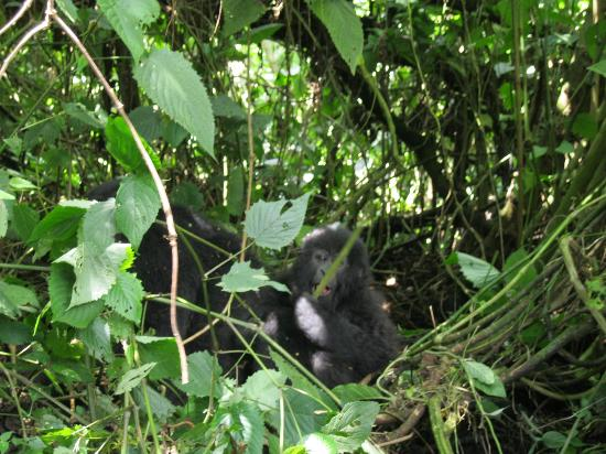 Primate Safaris: Gorilla baby and mother