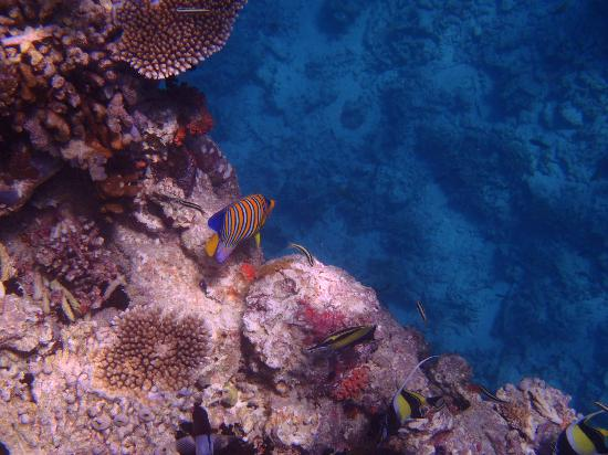 Lily Beach Resort & Spa: Beautiful fish over looking the reef