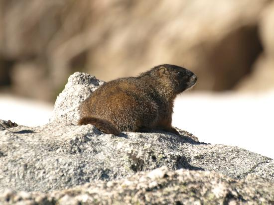 Flattop Mountain Trail: Marmot