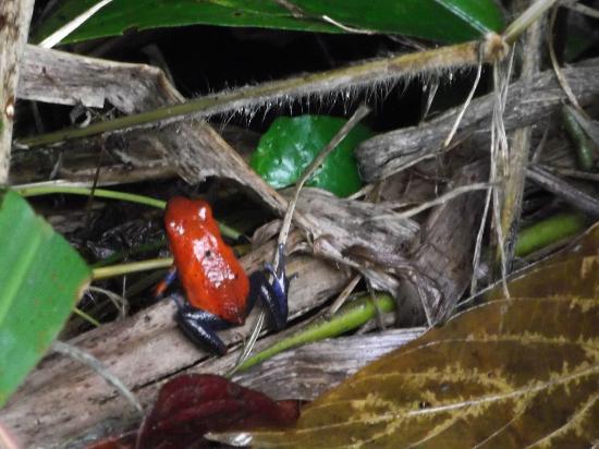 Posada Andrea Cristina: Blue Jeans Poison Dart Frog