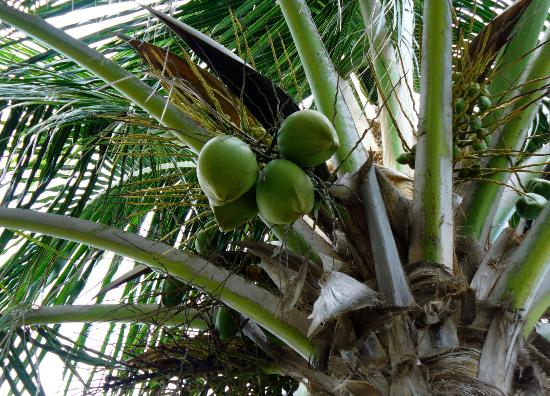 Gulfview Manor Resort: coconut tree