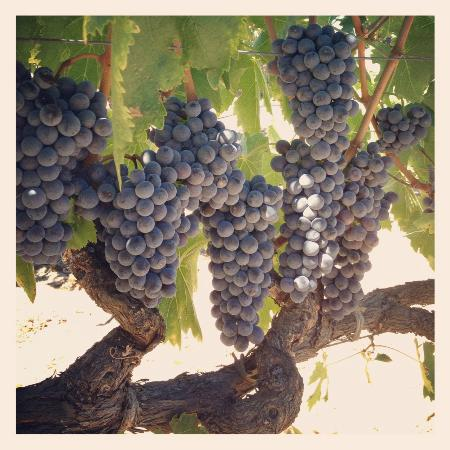 Rivino Winery: Sangiovese