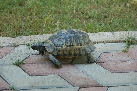 Baraka House: Turtles, who live under houses, walking