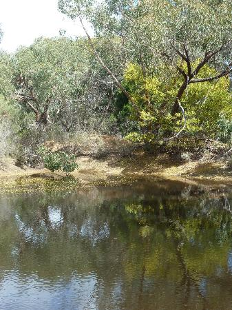 Mountain View Motor Inn & Holiday Lodge: flowering wattle at the billabong