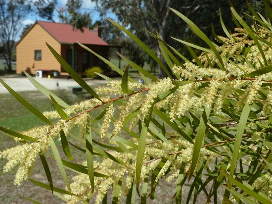 Mountain View Motor Inn & Holiday Lodge: One of the holiday lodges, and flowering wattle