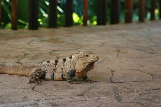 Iberostar Quetzal Playacar: Iguanas are everywhere