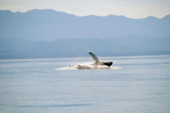 Eagle Wing Whale Watching Tours: Baby rolling, too after breach