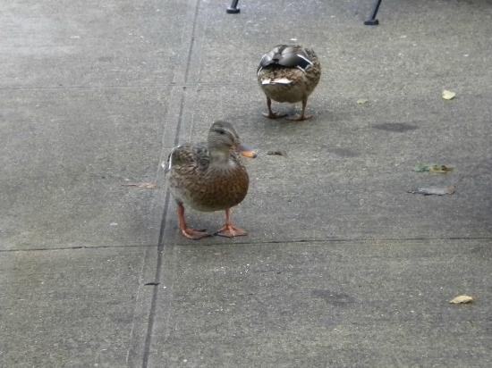 Chateau Ste. Michelle Vineyards: cute ducks