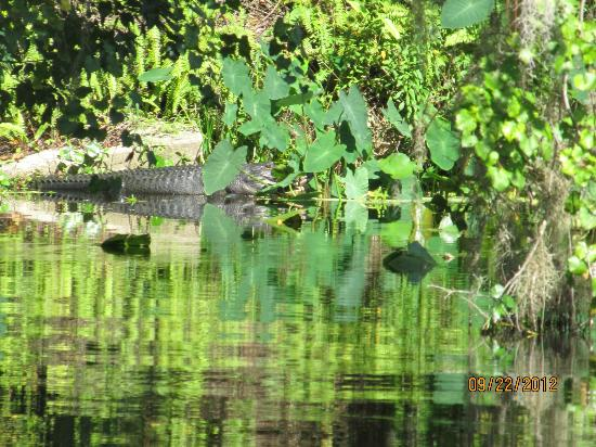 Captain Bob's Airboat Tour: Alligator sunning spot
