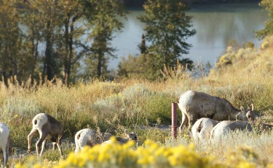 Bighorn Meadows Resort: Bighorn sheep wandering the grounds.