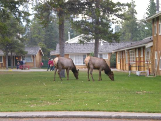 Jasper House Bungalows: Elk just chilling next to cabins