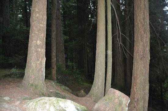 Lynn Canyon Park: tall trees