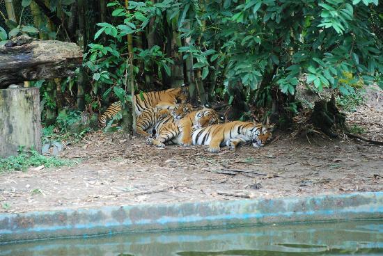Zoo Negara: Послеобеденный отдых