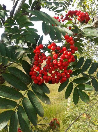 Tregaron, UK: Flourishing mountain ash