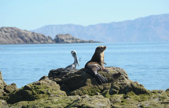 Baja AirVentures Las Animas Wilderness Lodge: Sea lion & pelican