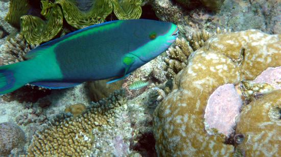 Diamonds Thudufushi: Pesce pappagallo