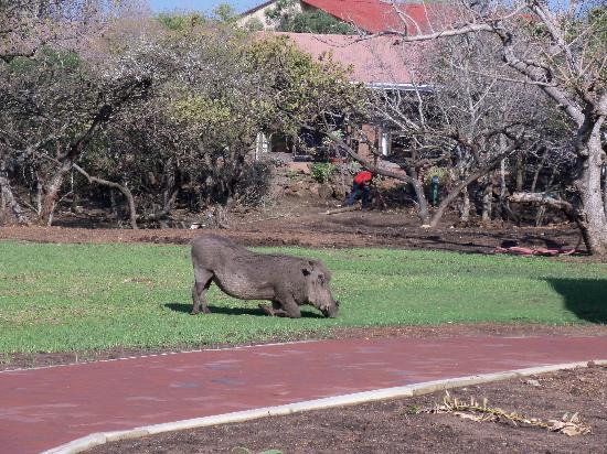 Zulu Nyala Game Lodge: Mr. Warthog enjoying his day around the lodge 