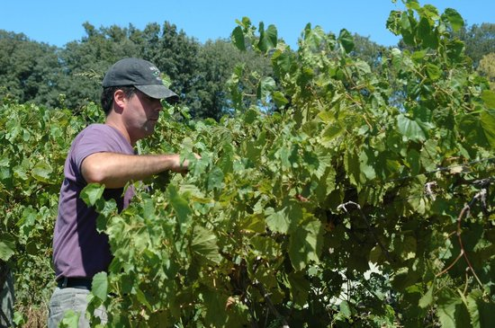 Turtle Run Winery: Jim Pfeiffer, owner, managing the vines during the summer