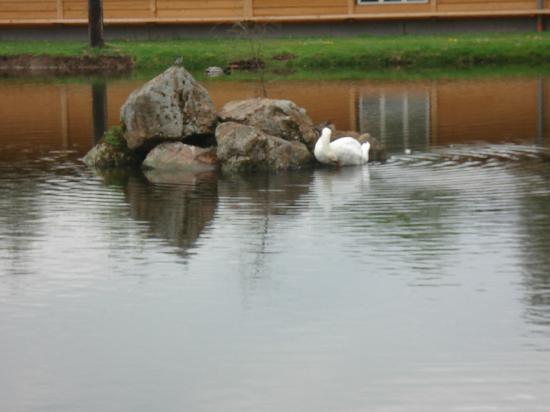 Hessen Mühle schwan im teich hessenmühle bild landgasthof hessenmühle