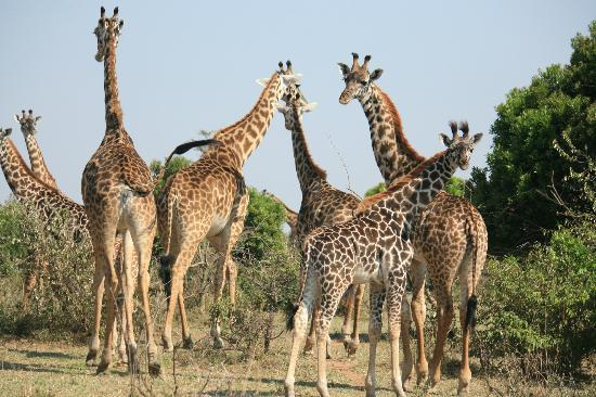 Enkewa Camp: familia de jirafas