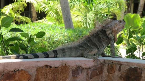Palm Island Resort & Spa: Iguana