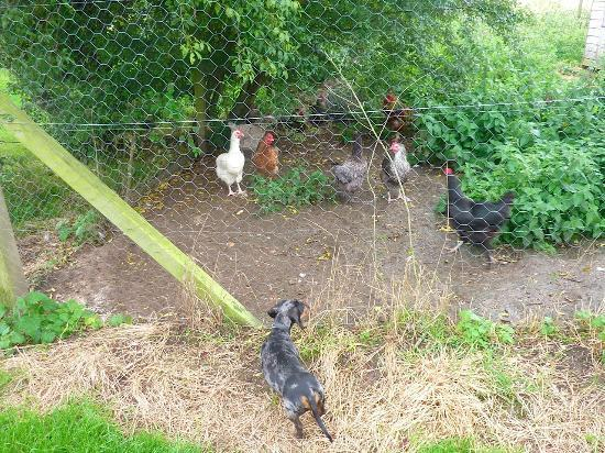 Kate's Farm Bed & Breakfast: Stanley meets the chickens!