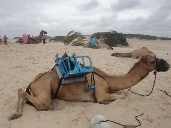 Genipabu Beach: Camelos muito mal tratados...