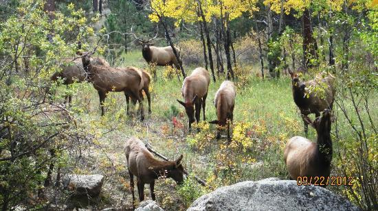 Swiftcurrent Lodge On The River: Bull Elk & his Harem across the River