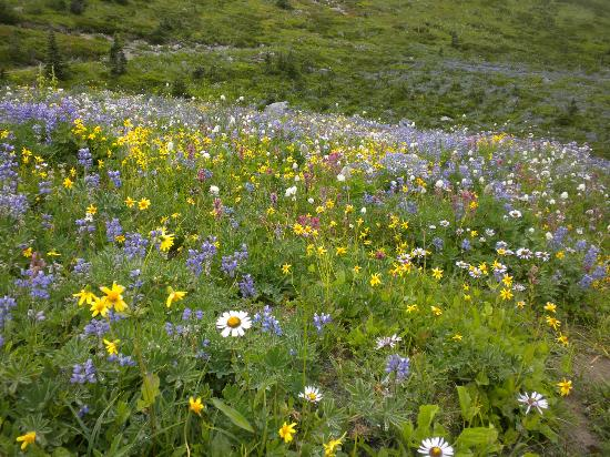 Paradise Inn at Mount Rainier: Wild flowers on a hike close to the Inn.