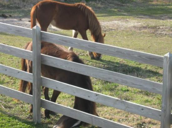 Ocracoke Pony Pens: Ocracoke Ponies March 2012