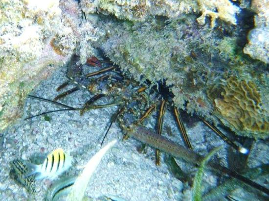 Bacalar Chico National Park and Marine Reserve: Lobster - snorkeling Bacalar
