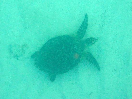 Bacalar Chico National Park and Marine Reserve: Turtle - snorkeling Bacalar