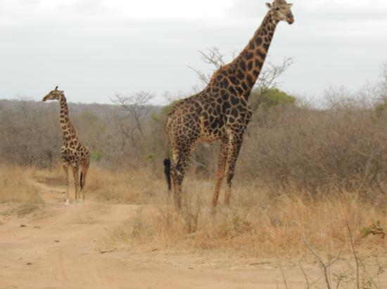 KwaMbili Game Lodge: Giraffe on the first day