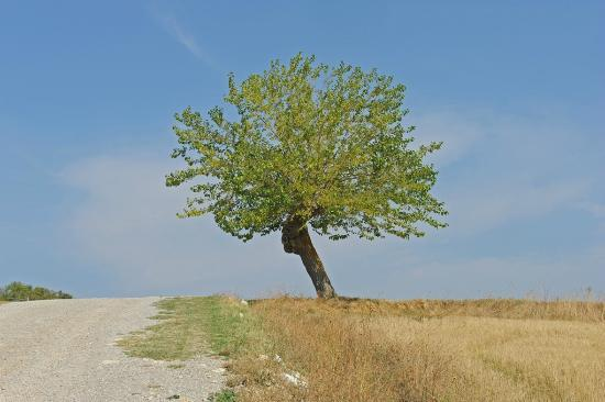 Podere Alberese: Tree on property