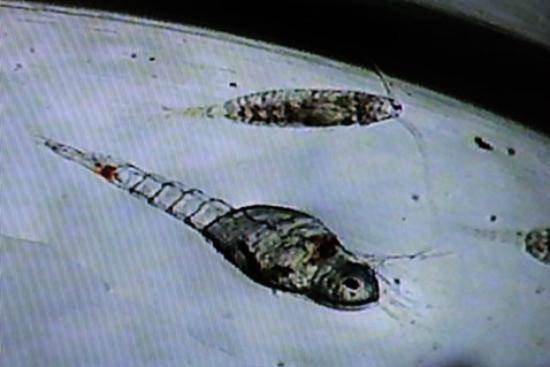 Sea Life Surveys: Krill