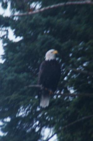 Mr. Bald Eagle at Salmon Falls Resort.
