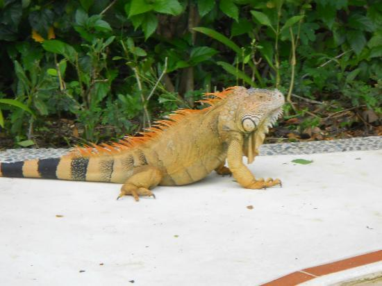 Occidental Grand Cozumel: Iguana on the grounds