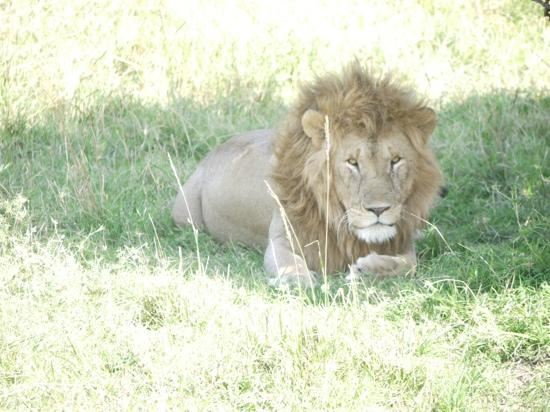 Porini Lion Camp: The lion king at the Lion Camp