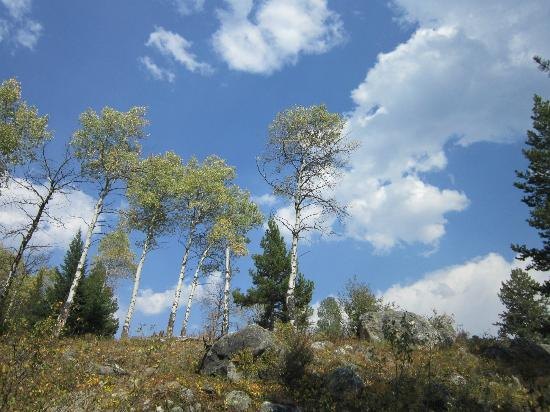 Laurance Rockefeller Preserve : Aspen trees in September