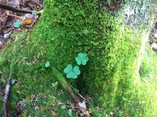 Bucklin Trail : Looking for four-leaf clovers