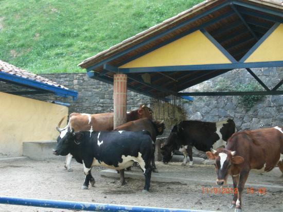 Expanzoo Expansion Centro Educativo Recreacional: vacas