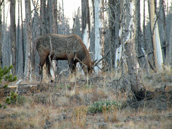 Laurance Rockefeller Preserve: Elk at dusk