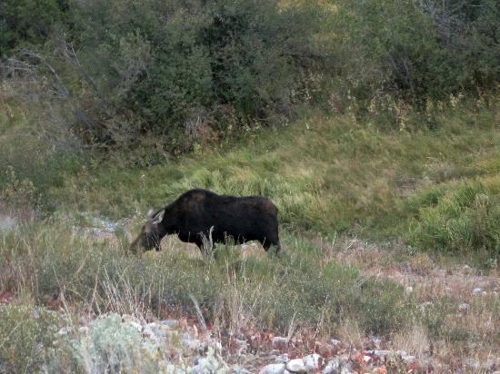 Laurance Rockefeller Preserve: Moose--7:30 PM