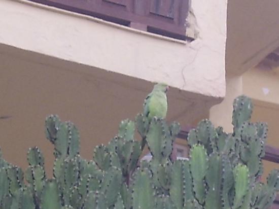 Marino Tenerife: parrott