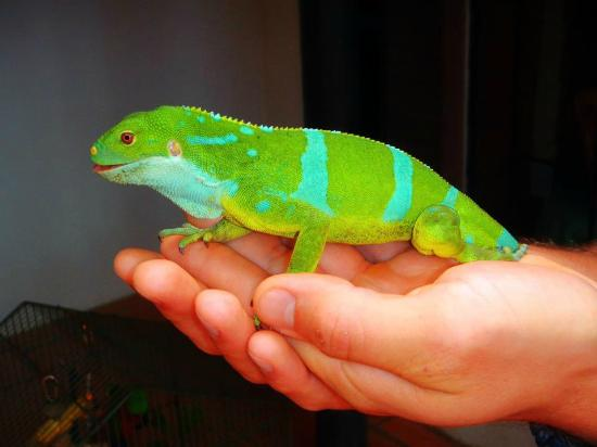 Kula Eco Park: Fiji Crested Iguana